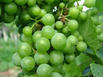 Bracko tourist farm grapes
