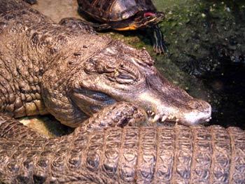 Maribor Aquarium Terrarium - crocodiles