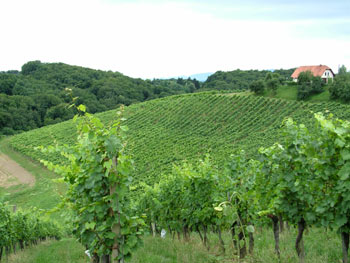 Vineyards around Maribor