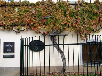 Maribor - the oldest vine in the world